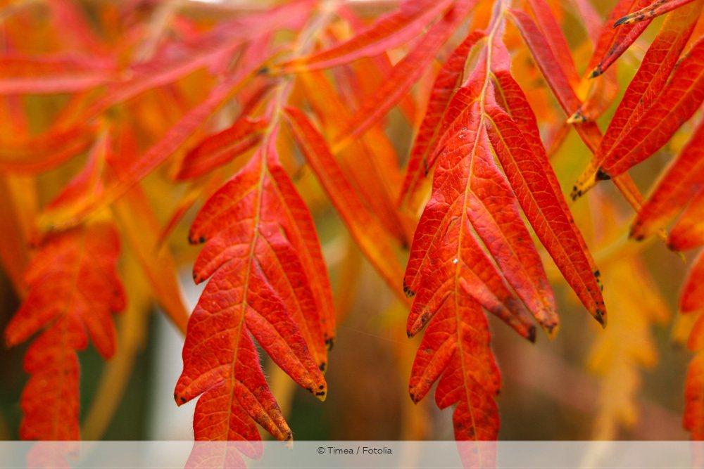 Geschlitzblättriger Essigbaum Farnwedel Rhus typhina Dissecta Blätter Herbst orange-rot
