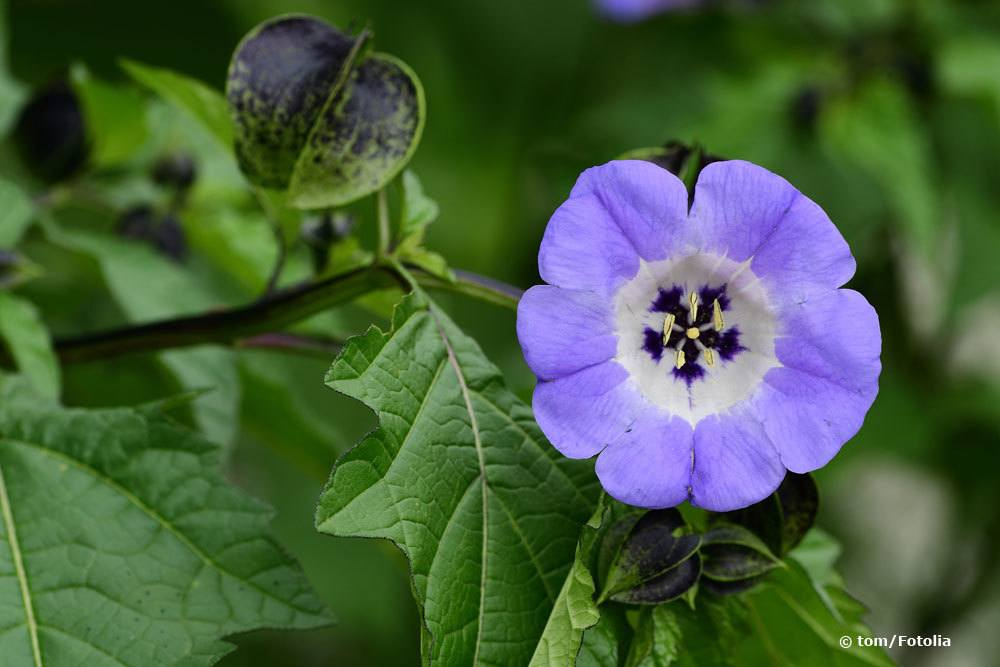 Giftbeere, Nicandra physaloides
