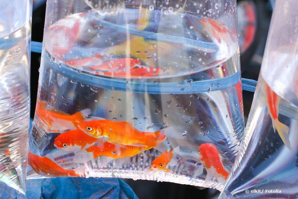 Goldfische umsiedeln