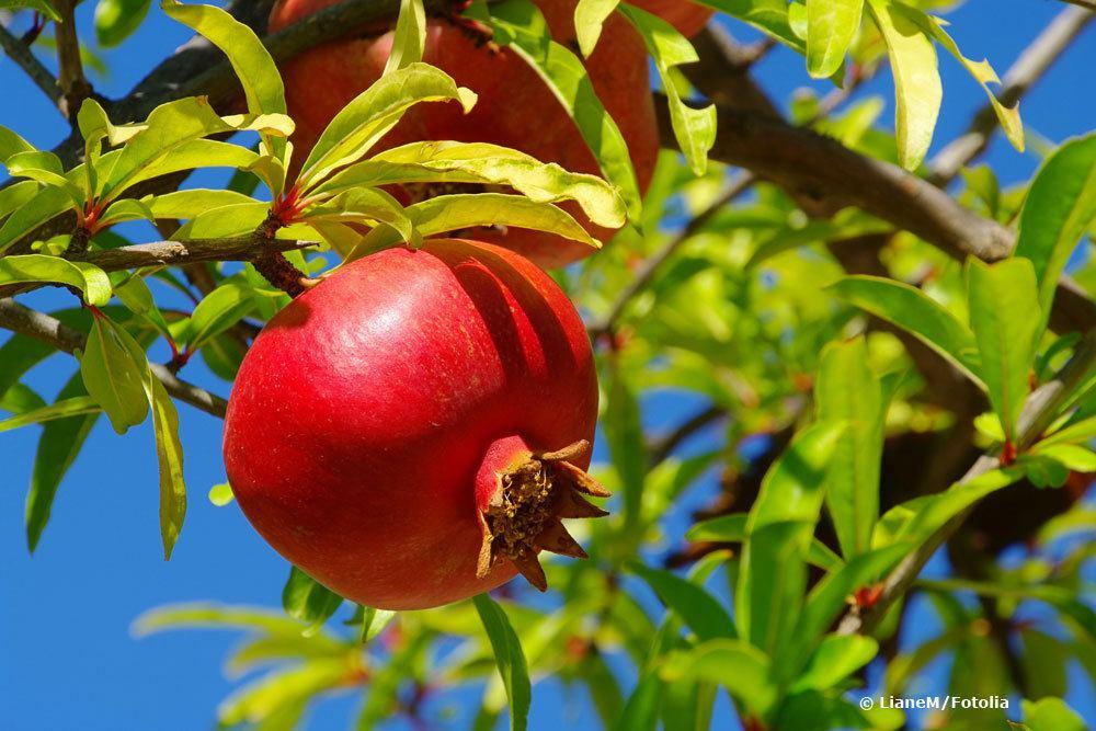 Granatapfel überwintern