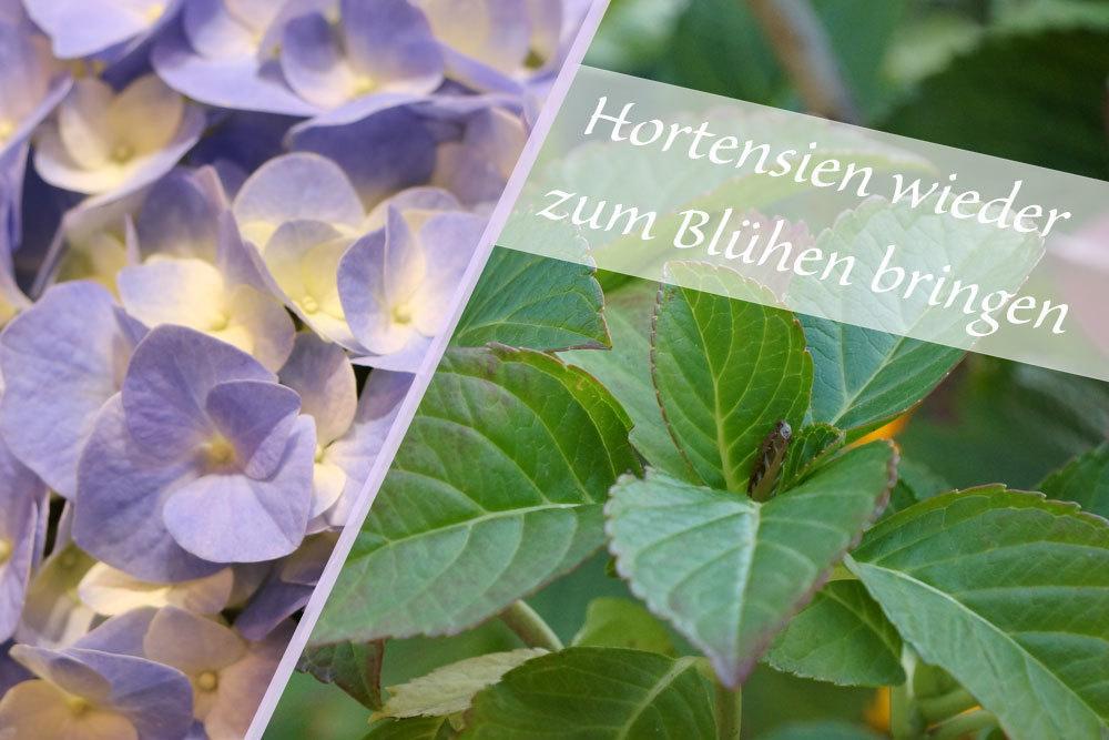 Hortensien zum Blühen bringen