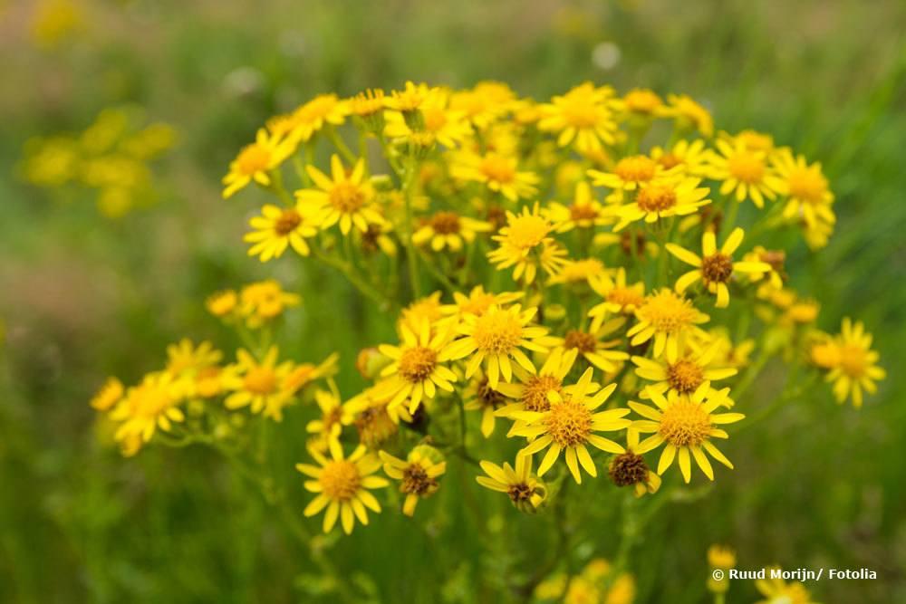 Jakobskreuzkraut, Jacobaea vulgaris