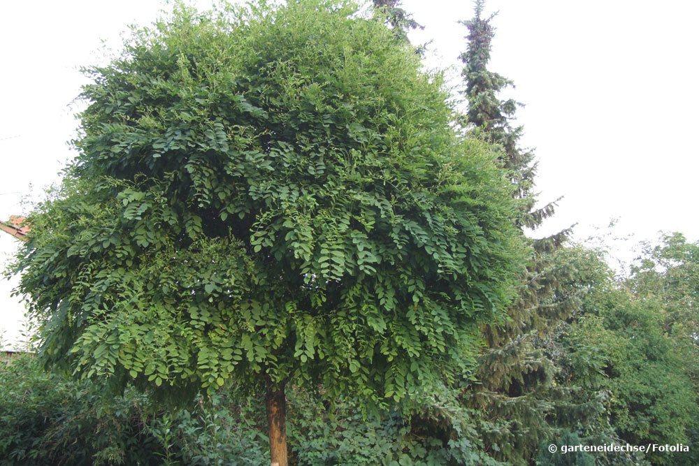 Robinia pseudoacacia `Umbraculifera'