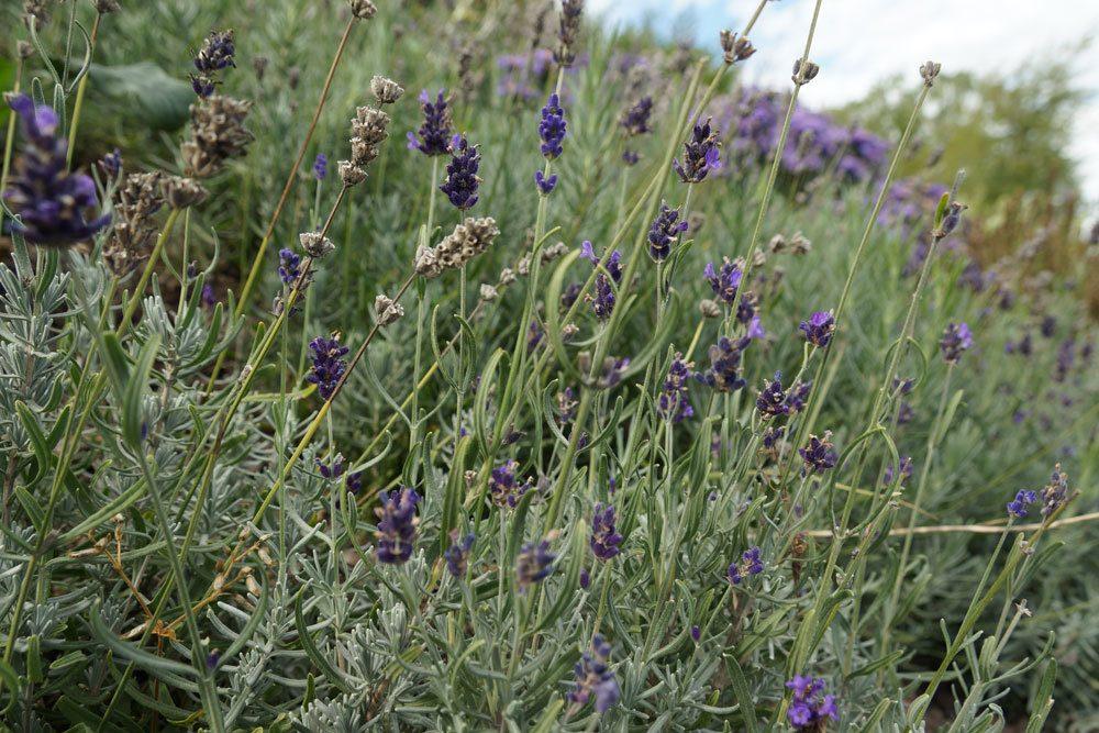 grauer Lavendel nach Winter
