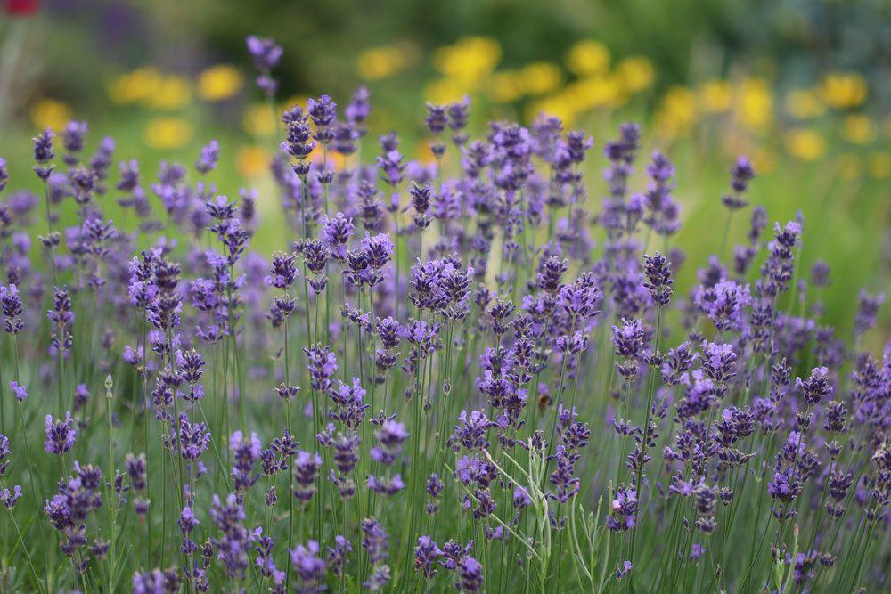 echter Lavendel, Lavandula angustifolia