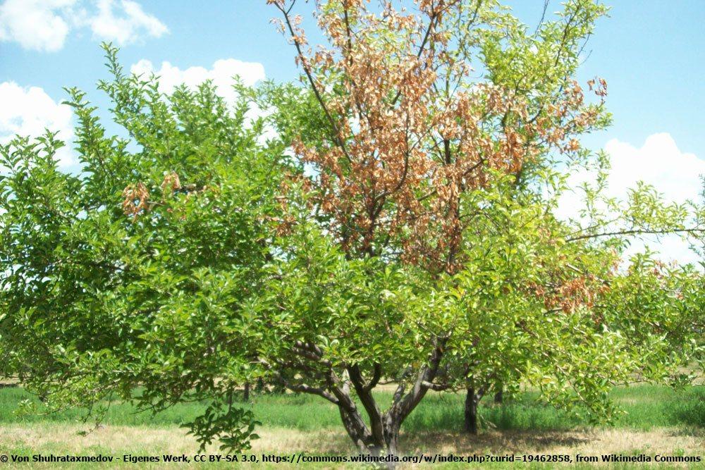 Monilia laxa an einem Apfelbaum