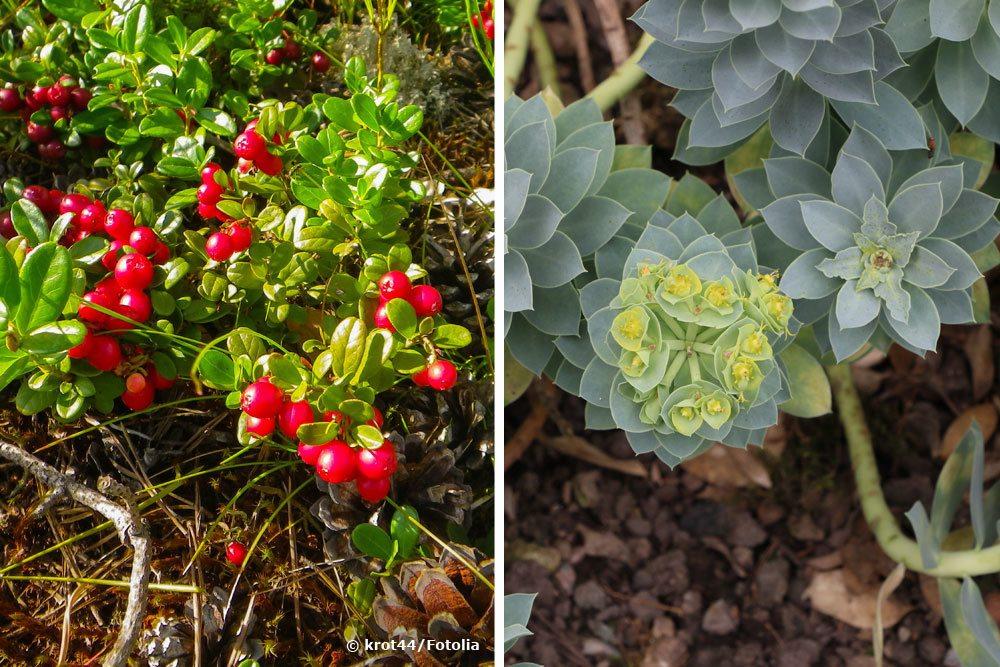 von links nach rechts: Moosbeere, Vaccinium macrocarpon; Walzen-Wolfsmilch, Euphorbia myrsinites