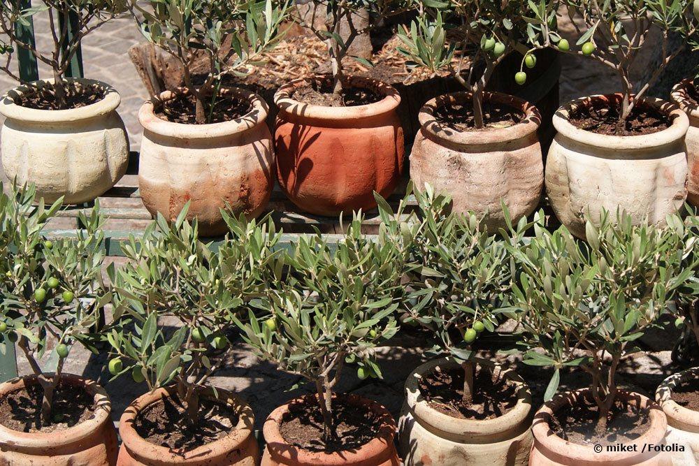 Olivenbäume im Topf