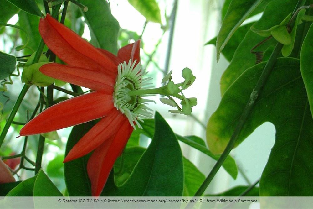 Passionsblume Passiflora Racemosa
