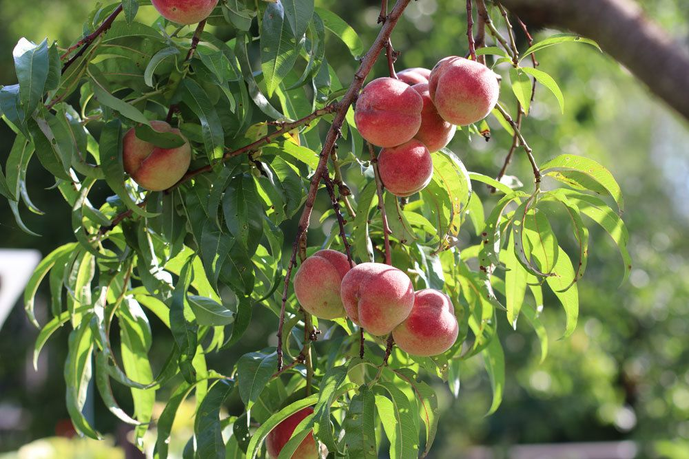 aprikosenkern einpflanzen
