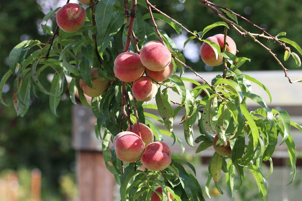 Pfirsichbaum, Prunus persica, Obstbäume