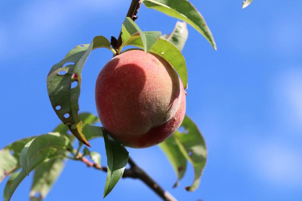 Pfirsichbaum, Prunus persica