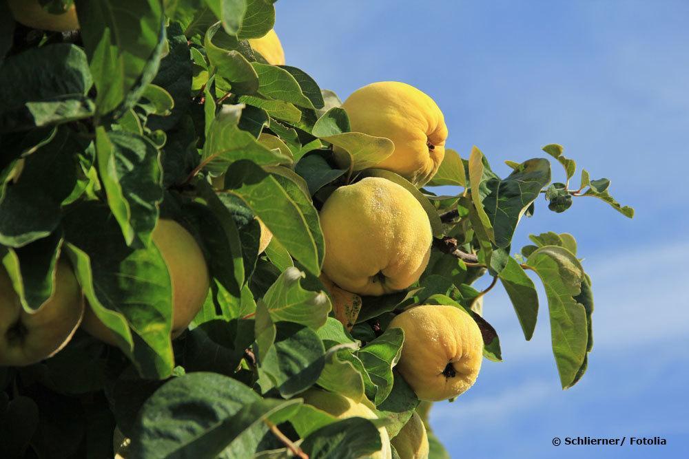 Quittenfrüchte am Baum, Cydonia oblonga