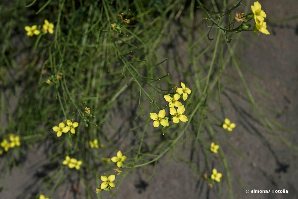 Rucola, Diplotaxis tenuifolia