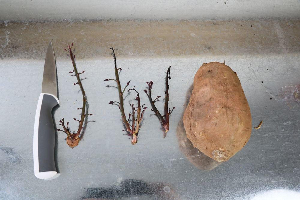 abgetrennte Stecklinge einer Süßkartoffel