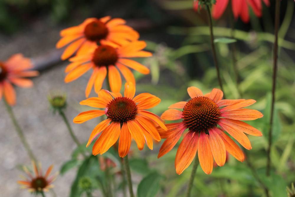 """Scheinsonnenhut """"Tangerine Dream"""" ,Echinacea purpurea"""