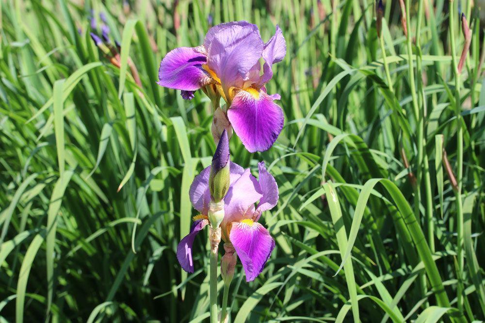 Schwertlilie, Iris