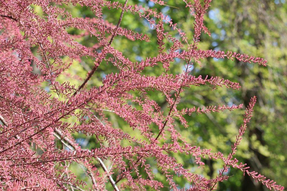 Sommertamariske, Tamarix ramosissima