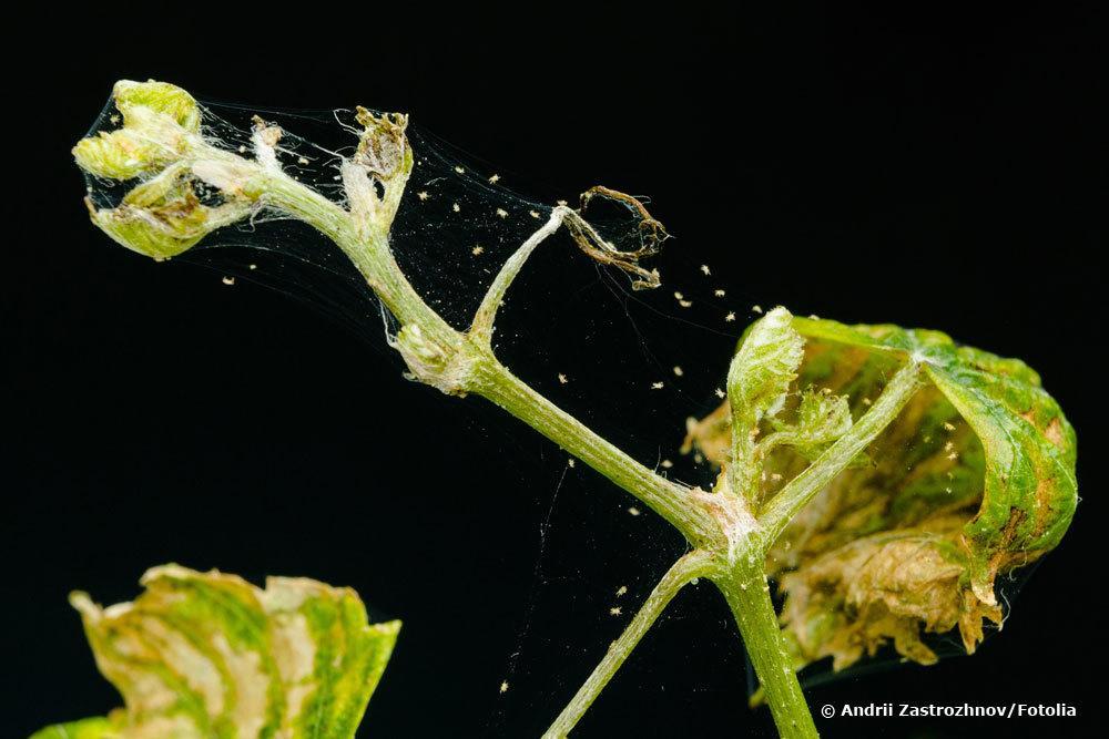 Spinnmilben-Befall