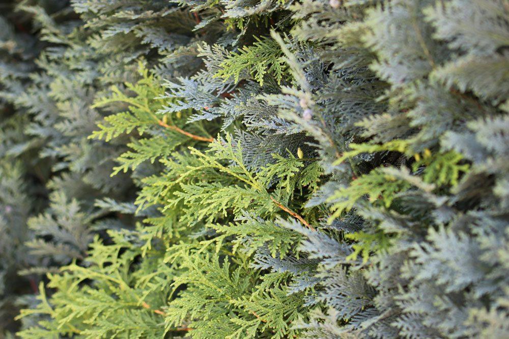 Lebensbaum, Thuja