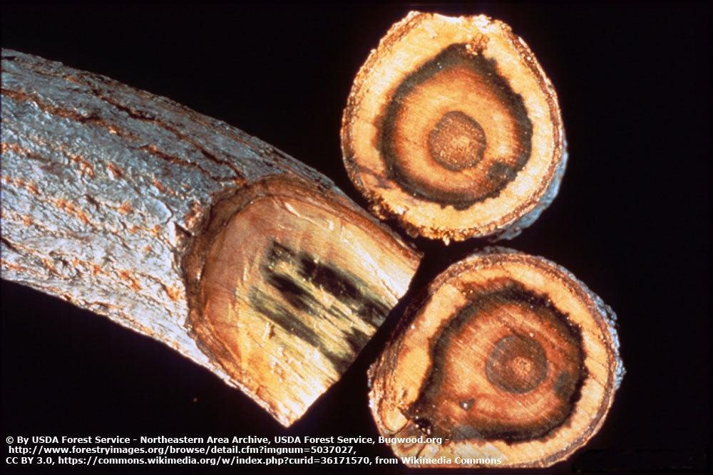 Verticillium im Astschnitt