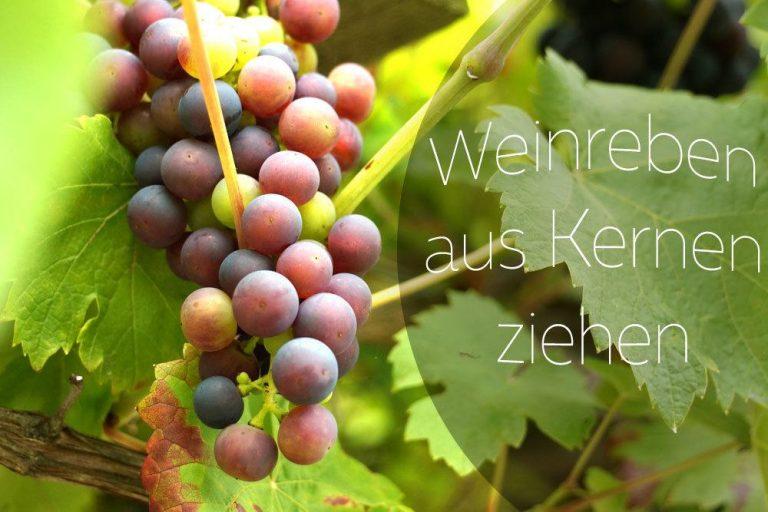 Weintraubenkerne einpflanzen