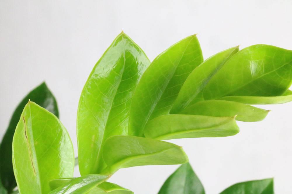 Glücksfeder, Zamioculcas zamiifolia