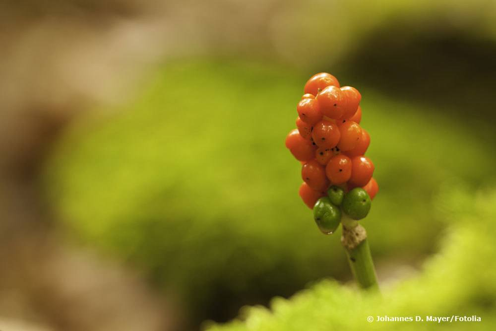 Fruchtstand Gefleckter Aronstab