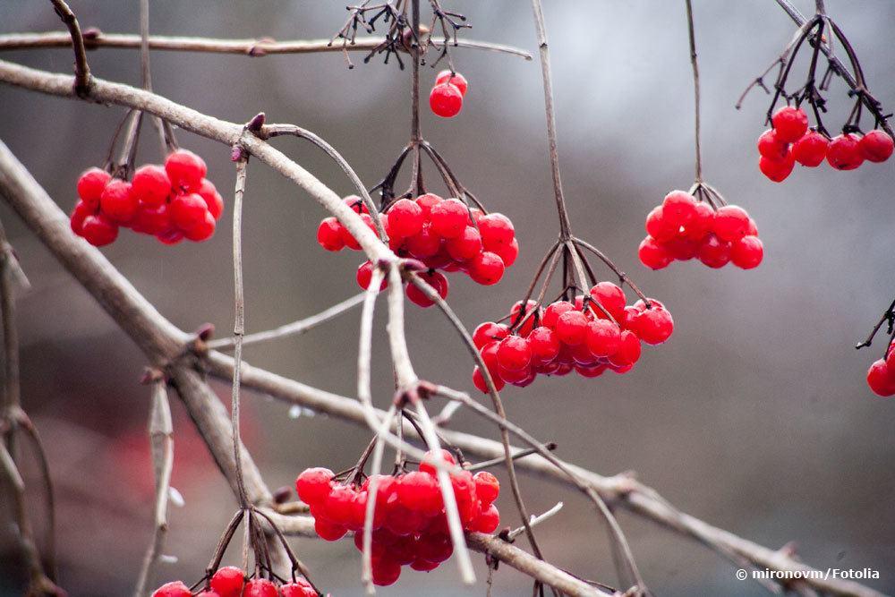 Beeren des gemeinen Schneeballs, Viburnum Opulus