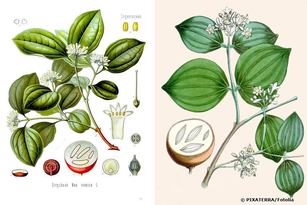 Gewöhnliche Brechnuss, Strychnos nux-vomica