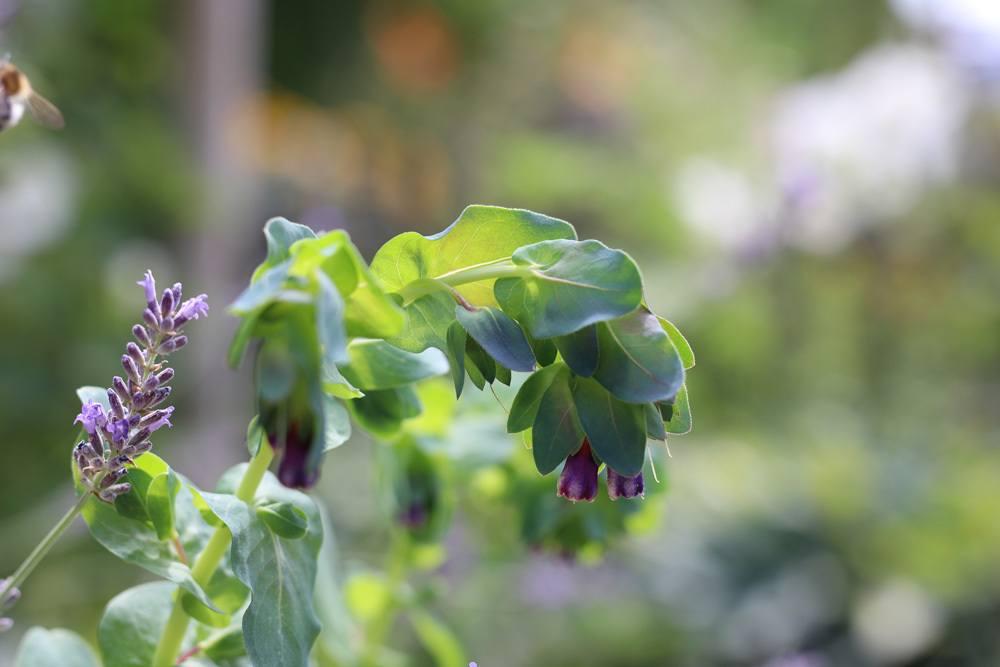 Große Wachsblume Cerinthe major