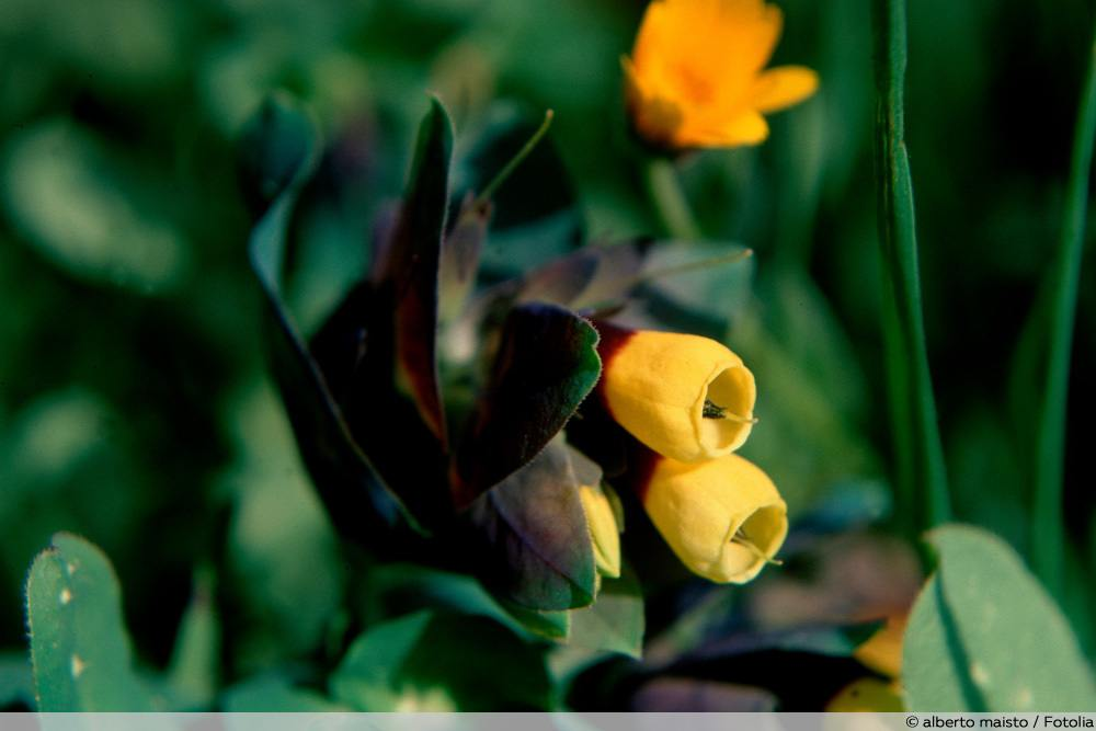 Große Wachsblume - Cerinthe major