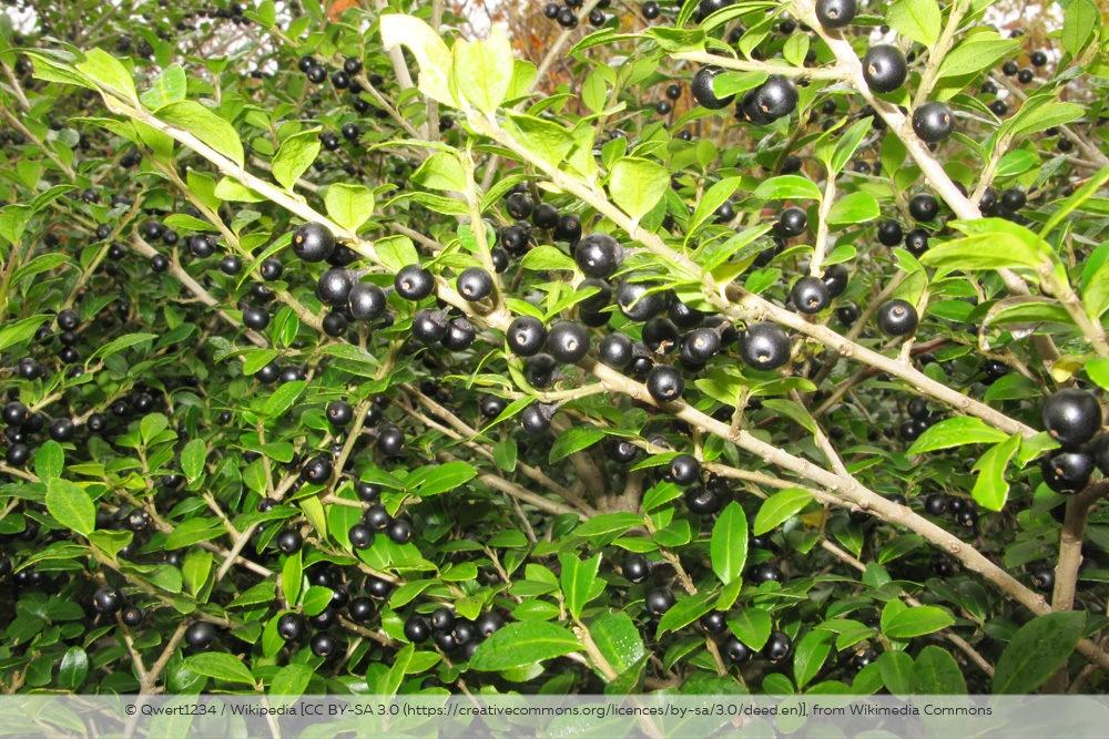 Ilex Crenata Japanische Stechpalme Früchte