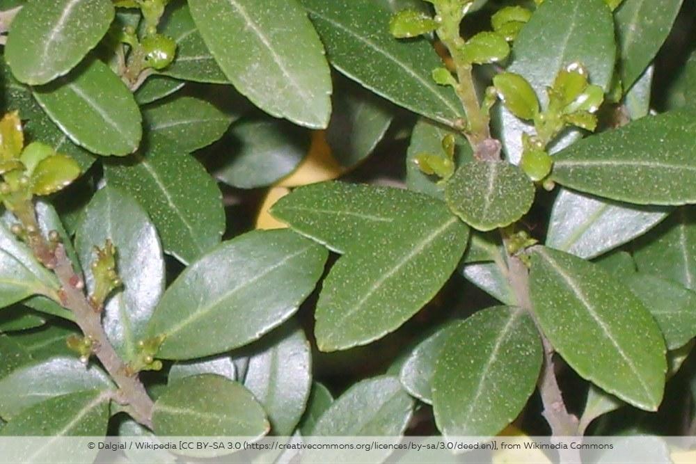 Ilex Crenata Japanische Stechpalme Blätter