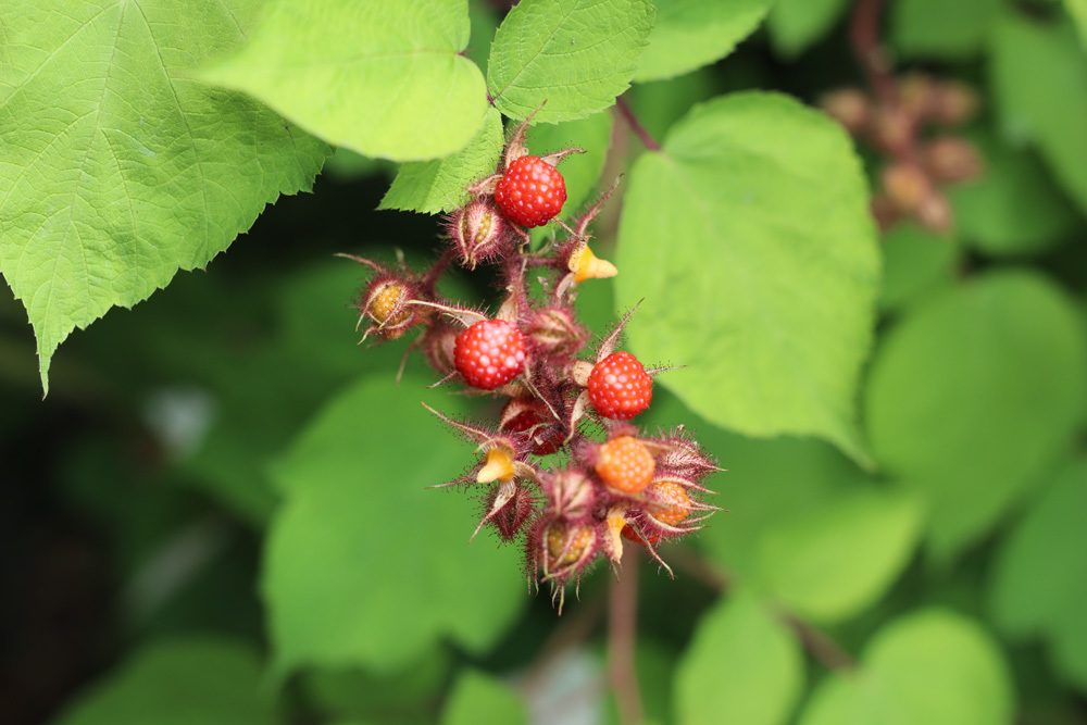 Japanische Weinbeere Rubus phoenicolasius