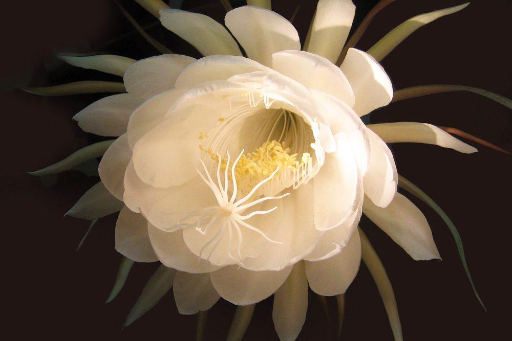 Königin der Nacht Selinicereus grandiflorus
