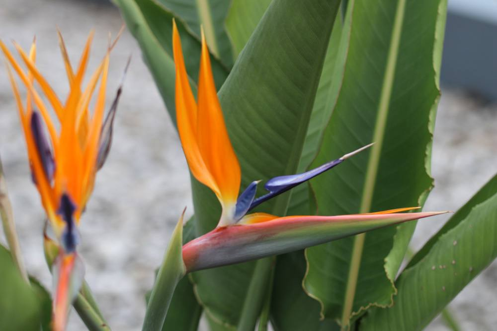 Papageienblume Strelitzie