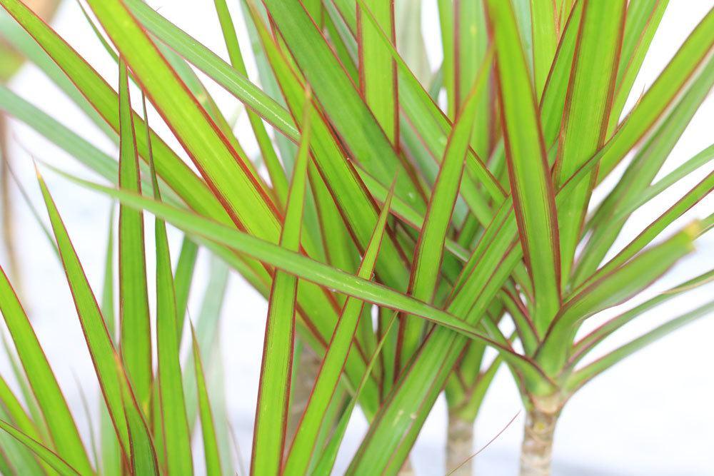 Drachenbaum, Dracaena deremensis