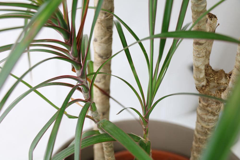 Gerandeter Drachenbaum, Dracaena marginata