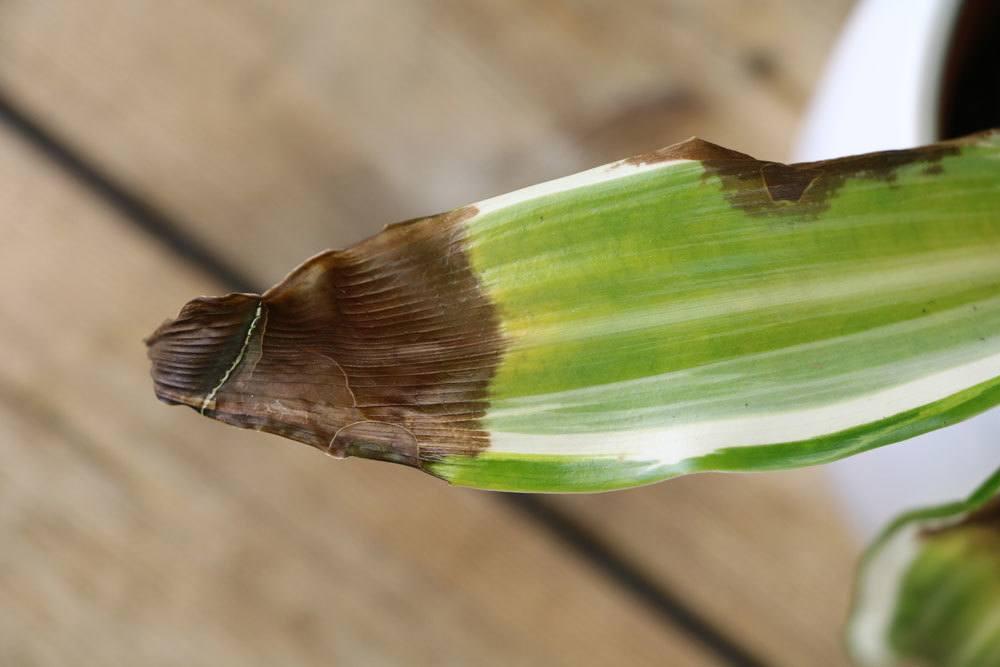 Drachenbaum Blatt mit brauner Spitze