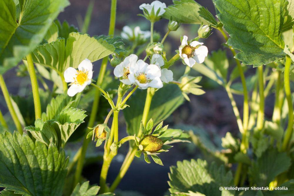 Erdbeerpflanze Elsanta