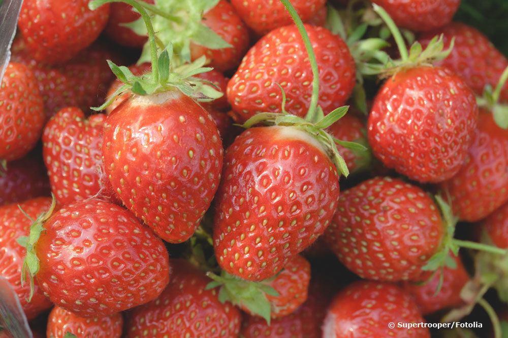 Erdbeeren Honeoye