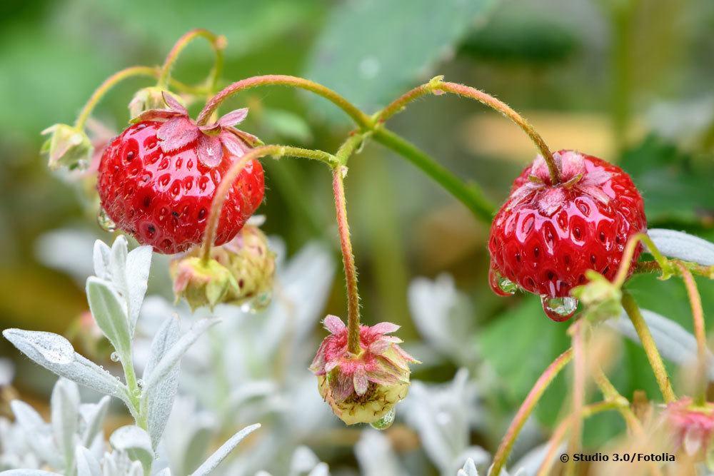 Erdbeere Mieze Schindler