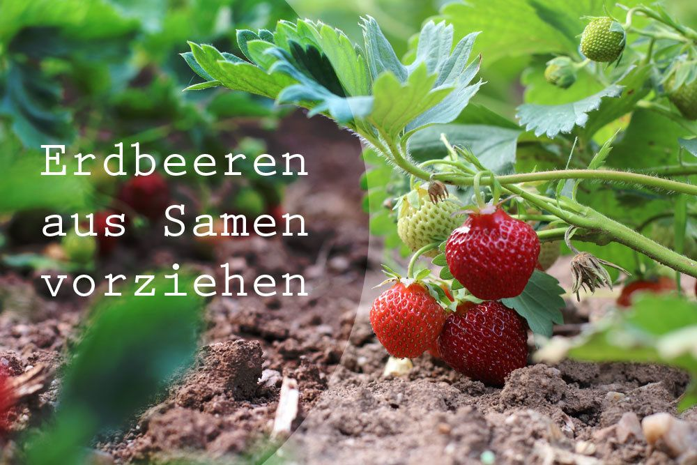 Erdbeeren aus Samen