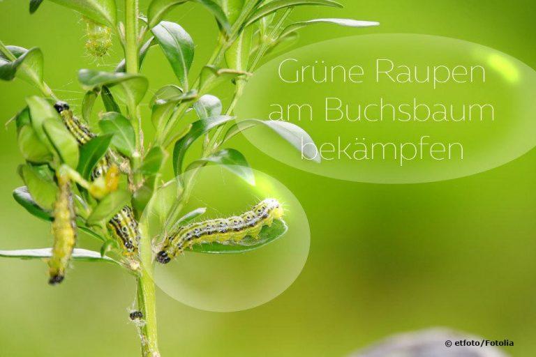 Grüne Raupen am Buchsbaum bekämpfen