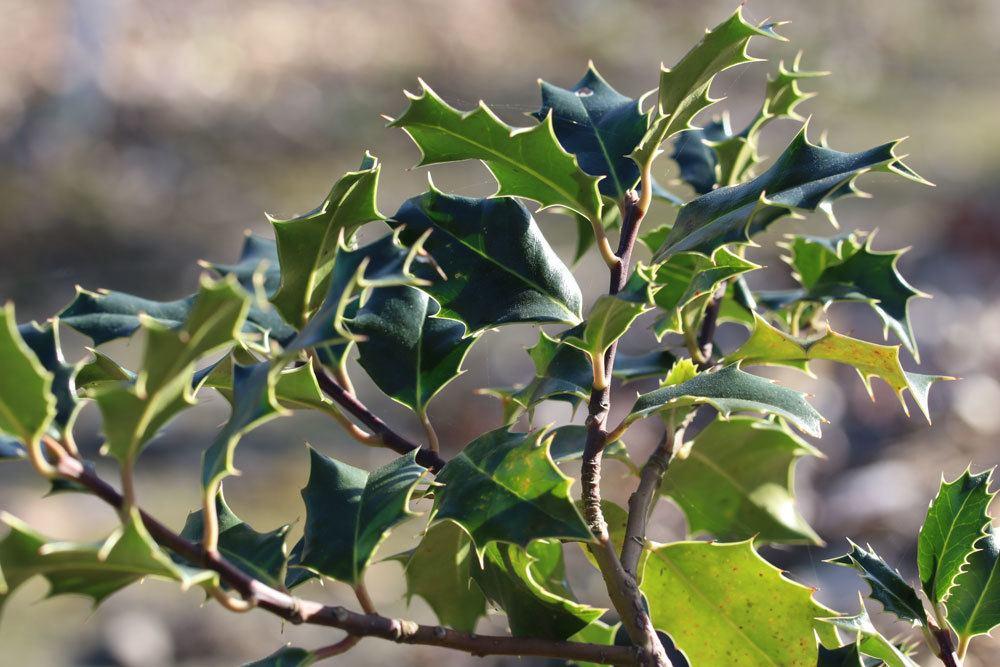 Ilex aquifolium, Europäische Stechpalme