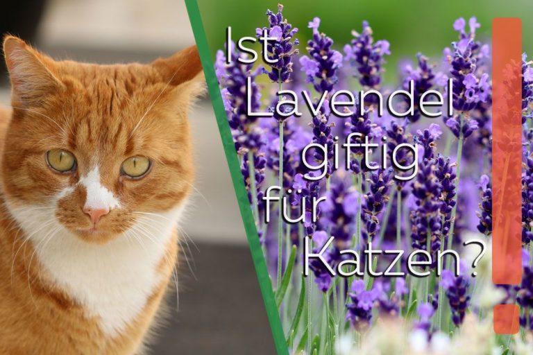 Ist Lavendel giftig für Katzen