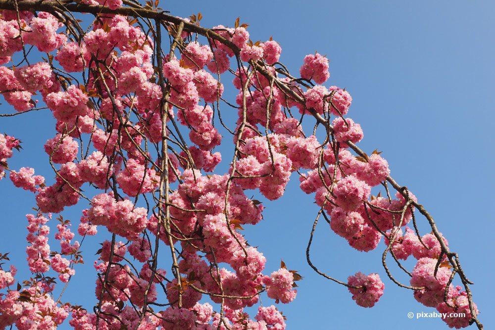 Zierkirsche, Prunus serrulata
