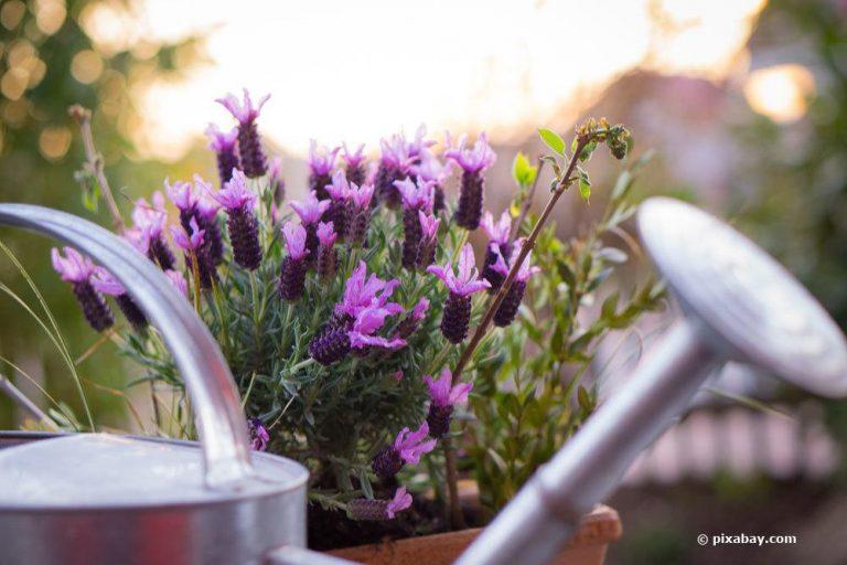 Lavendel im Topf pflegen