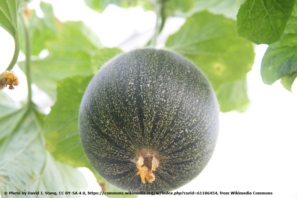 Zuckermelone 'Minnesota Midget'